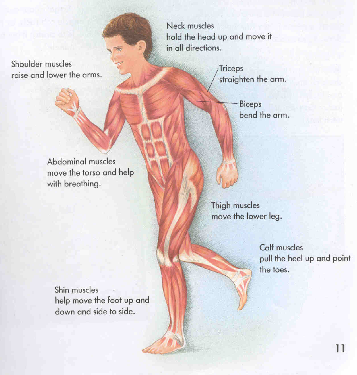 full human body muscle diagram – lickclick, Muscles